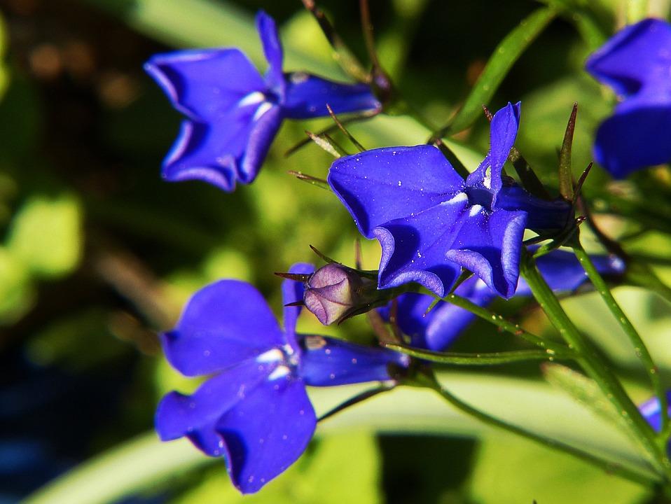 Lobelia Herbs Herbals Lobelia Inflata Alternative Medicine